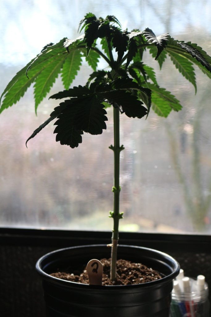 How To Grow A Cannabis Bonsai Tree