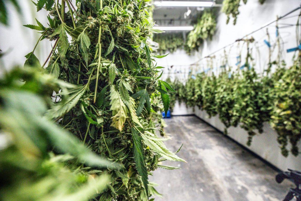 cannabis stalks hang drying