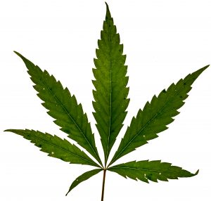 picture of a cannabis leaf for edible marijuana
