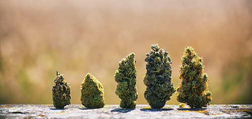 popular weed strains standing in a row.