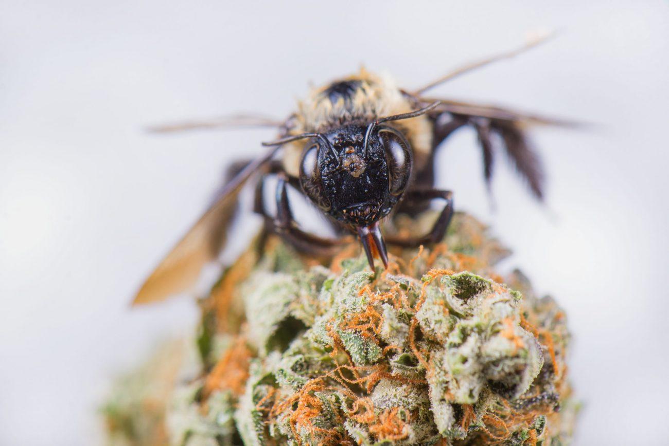 bee on cannabis plant