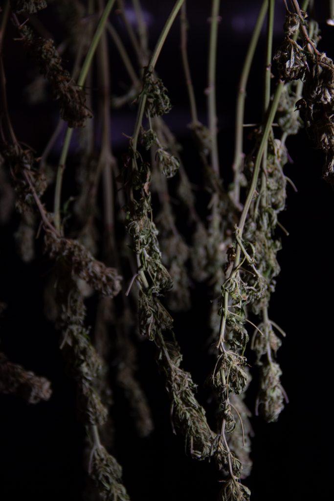 cannabis in weed dark room