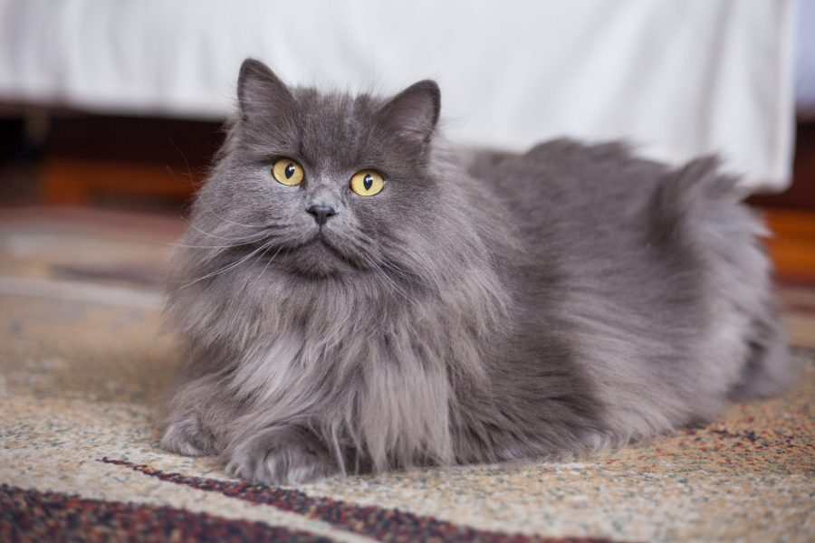 fluffy-grey-cat